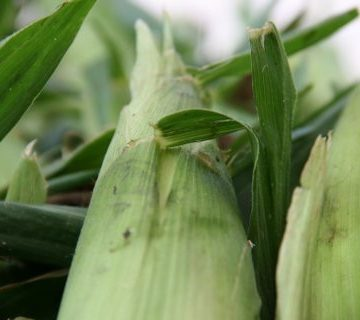 Close up image of corn in husks at Norman's Farm Market.