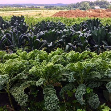 Tuscan and curly kale growing in a field at Norman's Farm.