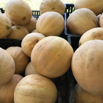 Large honeydew melons for sale in bins at Norman's Farm Market.