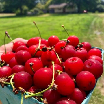 A pint of bright red cherries in front of Norman's Farm Market.