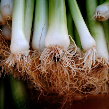 Green onion roots.