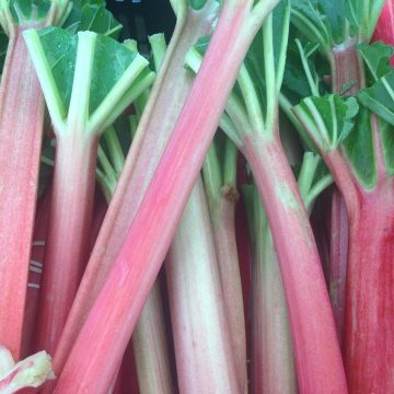 Fresh rhubarb stalks tinted pink with green tops.