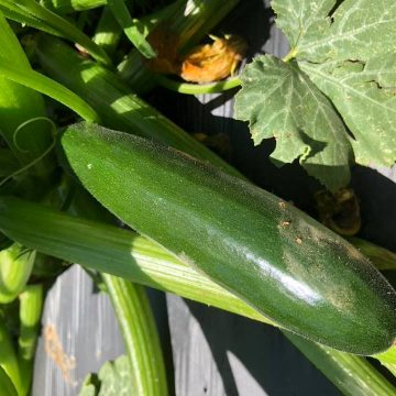 A zucchini growing attached to a stalk.